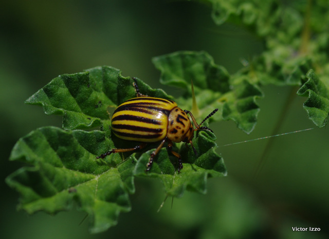 close up of potato beetle