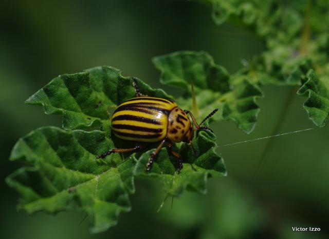close up of potato beetle
