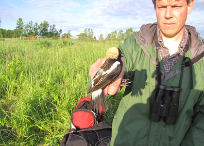 Allan Strong holds a Bobolink.