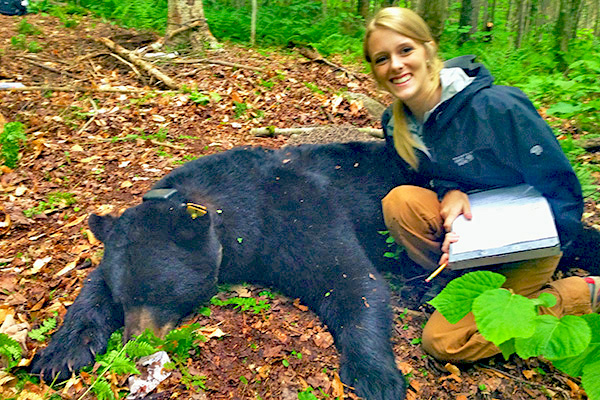 Rubenstein School student Caitlin Drasher volunteers to help radio collar black bears in a study conducted by VT Dept. of Fish and Wildlife.