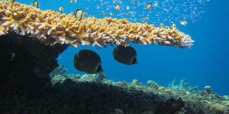 butterflyfish on reef