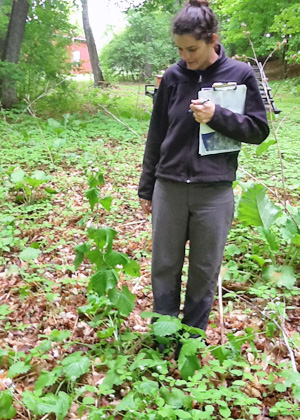 Clare surveying for invasive plants