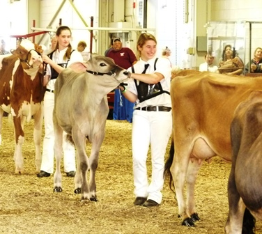 girls showing dairy cows