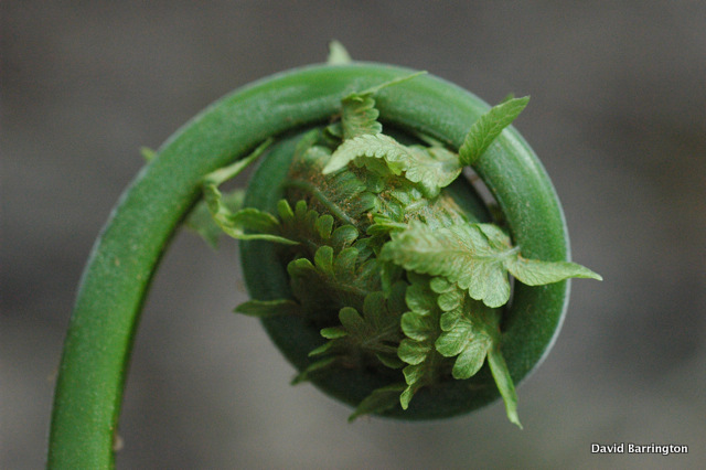 fiddlehead close up