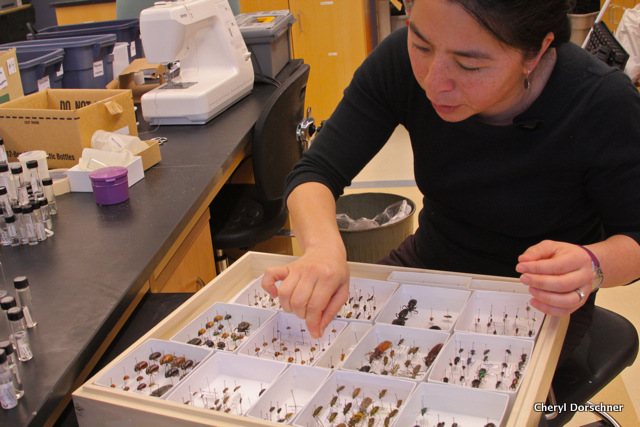 Woman with a huge case of bugs pinned in boxes