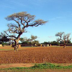 Stand of shea butter trees in fields prepped for planting in central Mali of West Africa