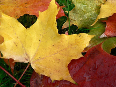 Red, yellow and orange maple leaves