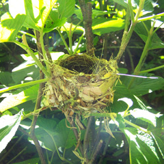 Black-throated Blue Warbler nest in hobblebush