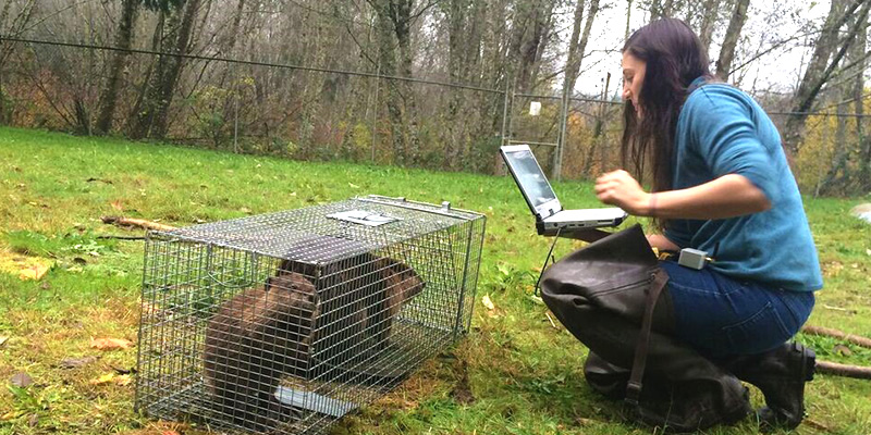 Molly Alves with two captured beavers.