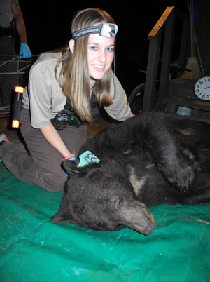 Rhianna Sommers works with Blue 53, a tagged black bear at Yosemite National Park.