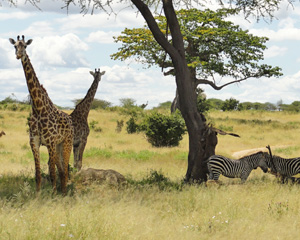 Grazing wildlife in Ruaha National Park of Tanzania
