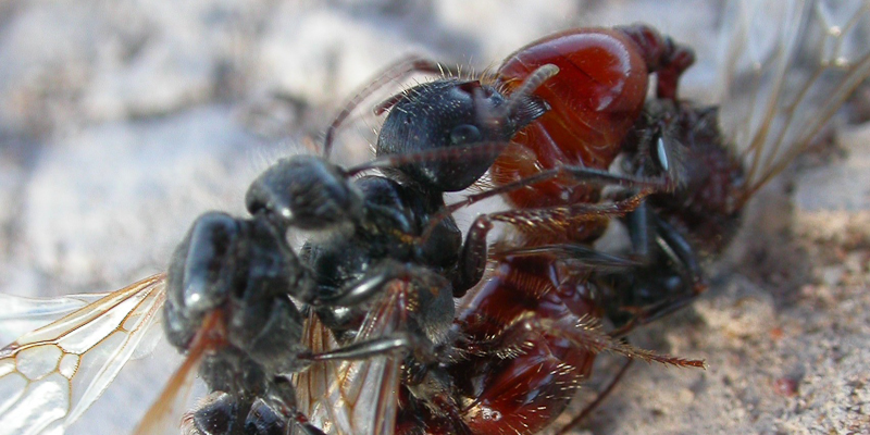 harvester ants mating
