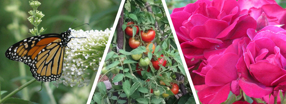Montage image of monarch butterfly, cherry tomatoes on the vine, and pink peonies