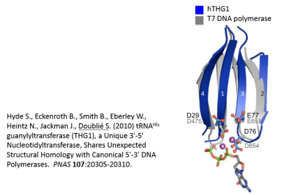 This image illustrates the reverse polymerase (THG1) goes from 3 prime to 5 prime, but still has the same fold as the canonical 5 prime to 3 prime DNA polymerases. (Courtesy of Sylvie Double)