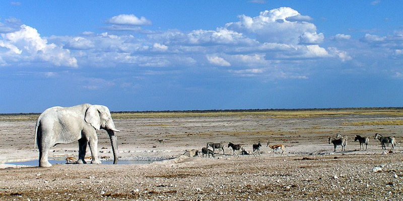 An elephant observes zebras and other animals in Namibia's Etosha National Park.
