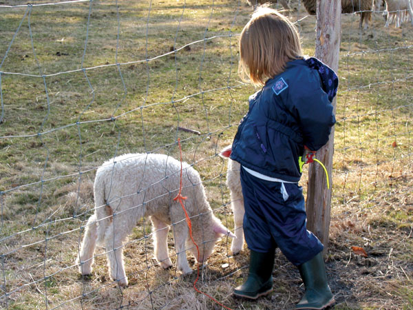 Girl looks at lambs through fence