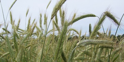 Grain in a field