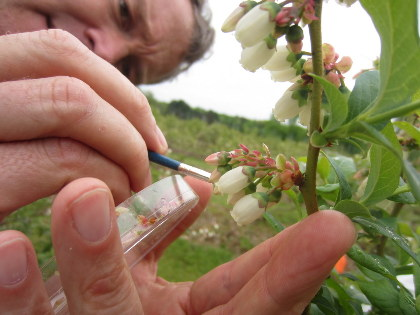 Hand pollination of blueberry bush