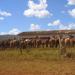 Horses lined up ready to herd cows on a ranch in the Amazon