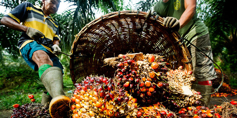 Palm Oil, endangered species, Sumatra, Indonesia, palm oil plantations