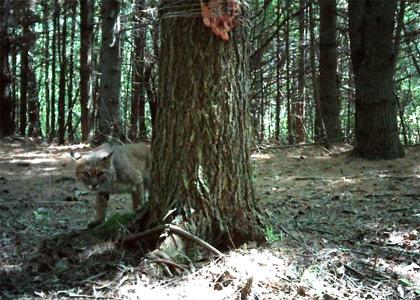 A bobcat