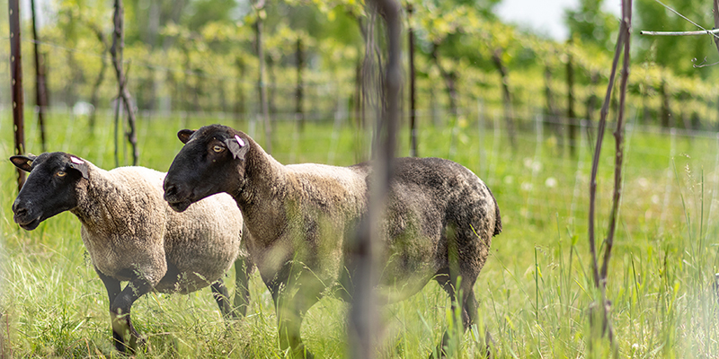 Two sheep in Shelburne Vineyard