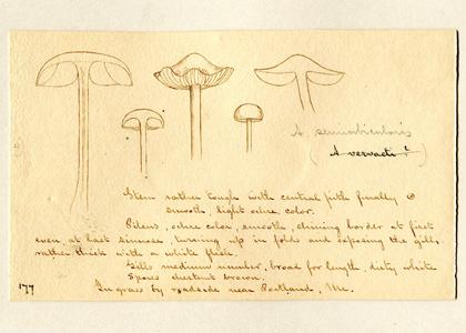 mushroom drawings