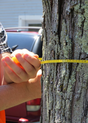 A LANDS student measures the diameter of a tree.