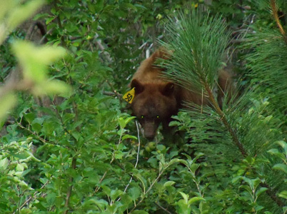 Yellow 50, a tagged black bear, munches on apples in Yosemite National Park.