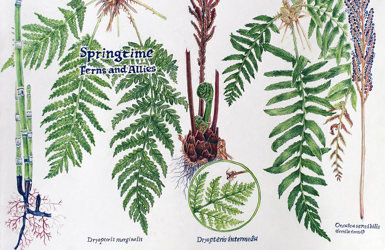 colored illustrations of ferns