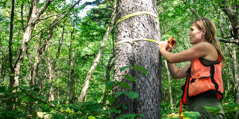 Researcher Ali Kosiba inspects a red spruce tree in forest