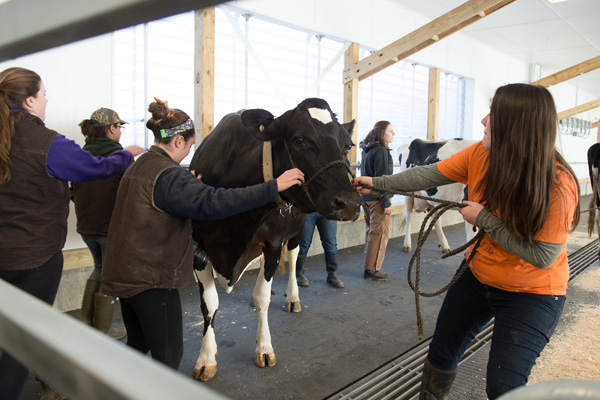 moving UVM cows to new barn