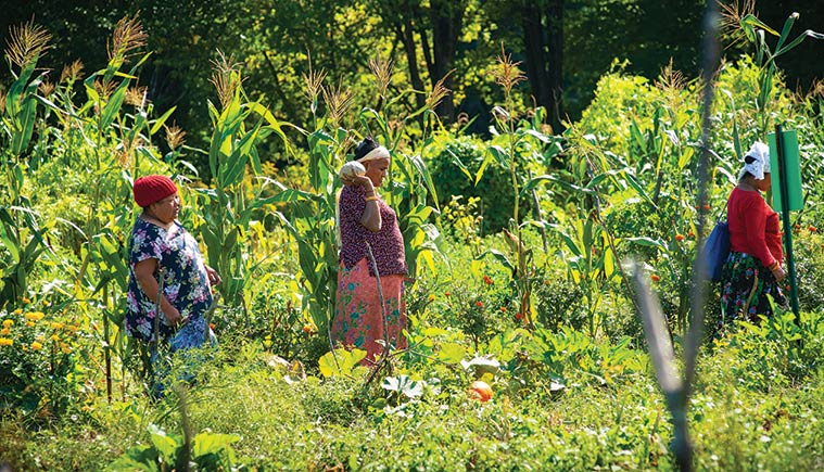 women in long dresses carrying baskets of produce while walking through rows of corn at the New Gardens for New Americans