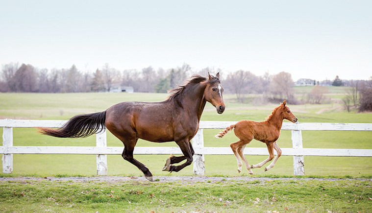 A morgan horse with a young filly running in the paddock at Morgan Horse Farm